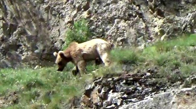 Çoruh Nehri'ne inen boz ayılar görüntülendi