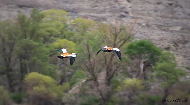 Eşlerine sadakati ile bilinen Angut kuşları Erzurum'da görüntülendi