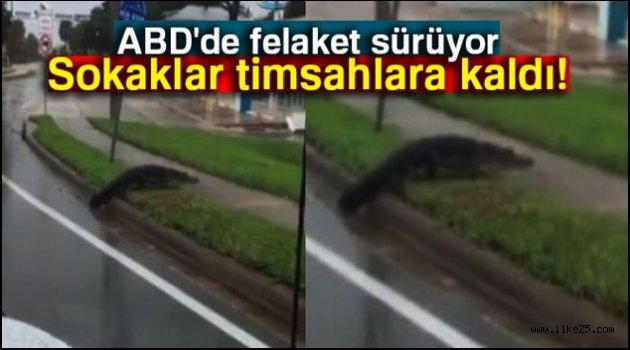 Florida'da sokaklar timsahlara kaldı