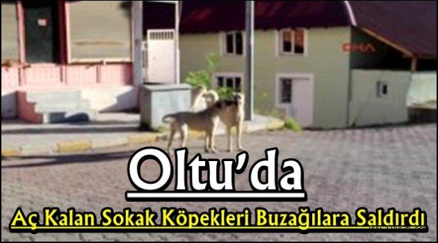 Oltu'da Aç Kalan Sokak Köpekleri Buzağılara Saldırdı