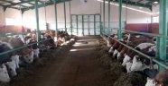 Erzurum'da Organik Et ve Süt Üretim  Projesi