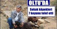 Oltu'da Sokak köpekleri 7 koyunu telef etti